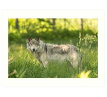 Timber wolf in a forest, Montobello, QC Art Print