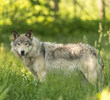 Timber wolf in a forest, Montobello, QC by Josef Pittner