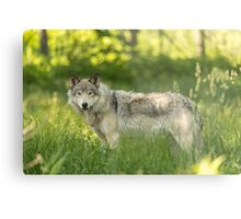 Timber wolf in a forest, Montobello, QC Metal Print