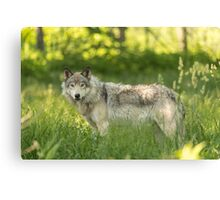 Timber wolf in a forest, Montobello, QC Canvas Print