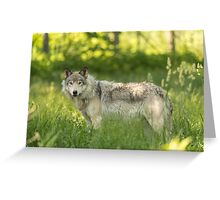 Timber wolf in a forest, Montobello, QC Greeting Card