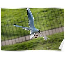 Seagull flying for bread Poster