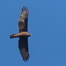 Harrier Coming  by byronbackyard