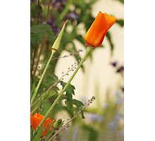 California Poppies In The Garden Photographic Print