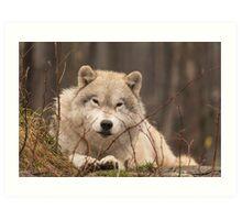 A resting Arctic Wolf - Montobello, QC Art Print