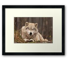 A resting Arctic Wolf - Montobello, QC Framed Print