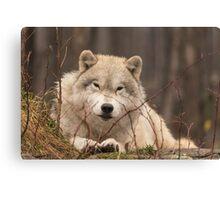 A resting Arctic Wolf - Montobello, QC Canvas Print