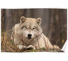 A resting Arctic Wolf - Montobello, QC Poster