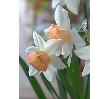 Delicate Daffodils  Photographic Print