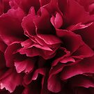 Pink peony by Avril Harris