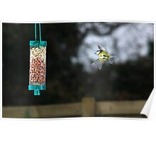 Blue tit flying to peanut feeder Poster