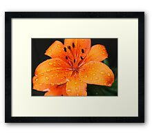 gorgeous golden lily flower with rain drops on petals. floral nature photography. Framed Print