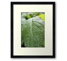 rain drops on dogwood green leaf. nature photography. refreshing! Framed Print
