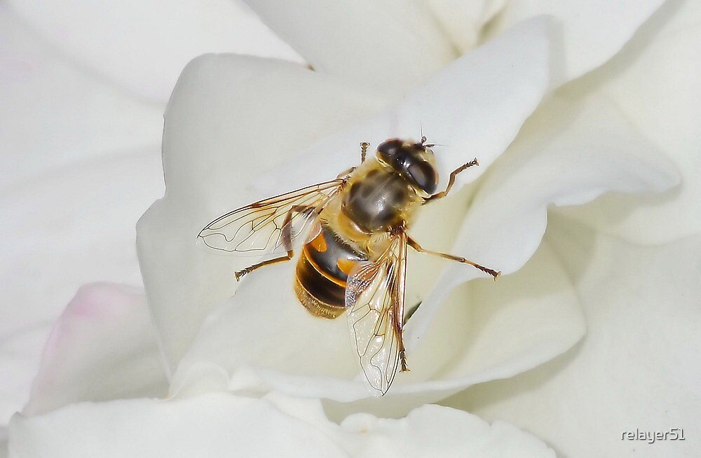 Hoverfly on Rose by relayer51