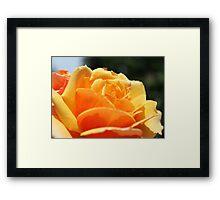 gorgeous golden rose flower close up shot. floral photography. Framed Print