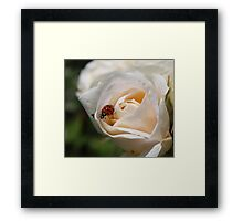 beautiful white rose flower with orange and black spots ladybug.  floral nature photography.  Framed Print