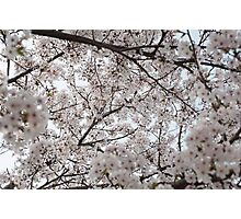 Cherry Blossoms All Around Photographic Print