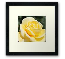 pretty yellow rose flower. Framed Print