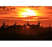 Red Hartebeest - Sun Symmetry - African Wildlife Photographic Print