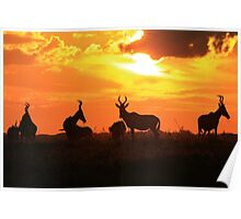 Red Hartebeest - Sunset Beauty - African Wildlife Poster