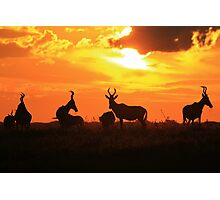 Red Hartebeest - Sunset Beauty - African Wildlife Photographic Print