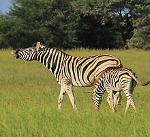 Zebra - Funny Nature - African Wildlife Background  by LivingWild