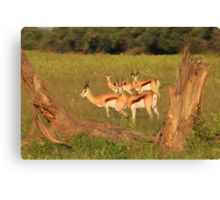 Springbok - African Wildlife Background - Natural Framing Canvas Print