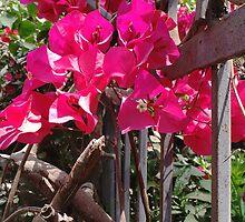 Bougainvillea Beauty by Vanessa  Hayat