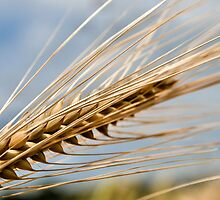 Ear of Barley by JEZ22