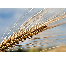 Ear of Barley Photographic Print