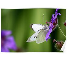 Small white on geranium Poster