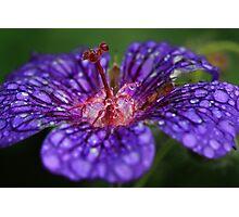 Geranium, after the rain Photographic Print