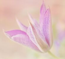 Clematis by afeimages