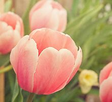 Pink Tulips by afeimages