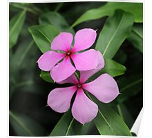 Twin Madagascar Periwinkle Flowers Poster