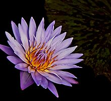 Purple waterlily by cclaude