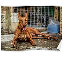 Pharaoh Hound - Maltese Dog for Hunting Poster