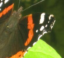 beautiful butterfly Sticker