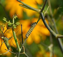Swallowtail Caterpillar by xonear