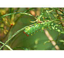 Promethea Caterpillar Photographic Print