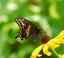 Swallowtail Butterfly by xonear