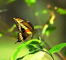 Tiger Swallowtail by xonear