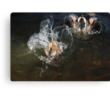 Male and female mallard diving Canvas Print