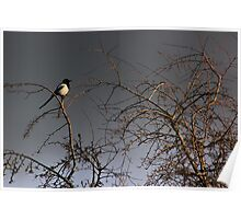 Magpie with grey sky Poster