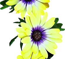 African Daisies Lemon Symphony by Susan Savad