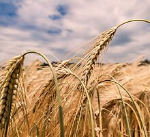 Barley by JEZ22
