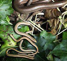 Slow worm family by Rivendell7