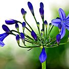 Blue African Lily by T.J. Martin