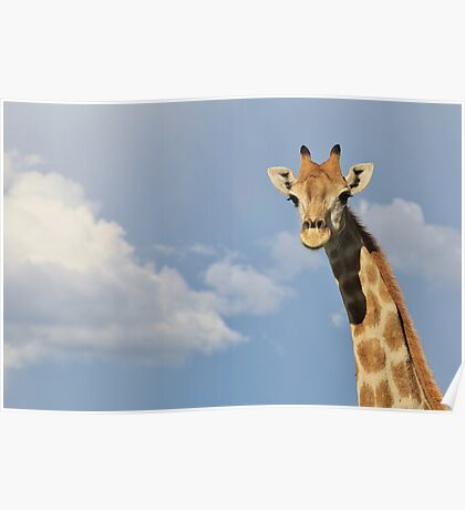 Giraffe - Posture of Blue - African Wildlife Background  Poster