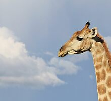 Giraffe - Beautiful Blue - African Wildlife Background  by LivingWild